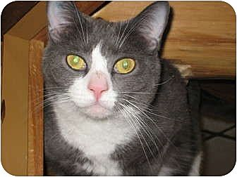 Domestic Shorthair Cat for adoption in Saranac Lake, New York - Nermal
