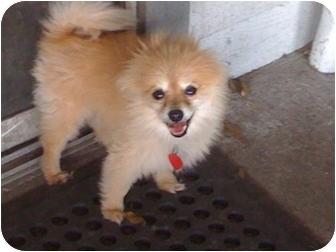 Pomeranian Dog for adoption in Orlando, Florida - Baily