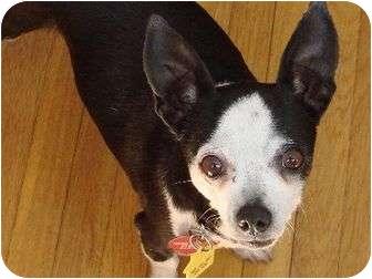 Chihuahua Mix Dog for adoption in Studio City, California - Jill
