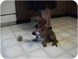 Beagle/Dachshund Mix Puppy for adoption in Marlton, New Jersey - Baby Bentley