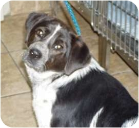 Australian Cattle Dog/Spaniel (Unknown Type) Mix Dog for adoption in Hopkinsville, Kentucky - Oreo