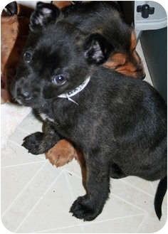 Chihuahua Mix Puppy for adoption in Westfield, Indiana - Rudy