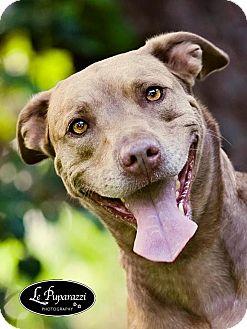 Labrador Retriever Mix Dog for adoption in Orlando, Florida - Cookie