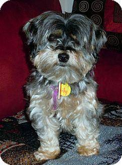 Yorkie, Yorkshire Terrier/Shih Tzu Mix Dog for adoption in Toronto, Ontario - Lily