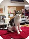 Domestic Shorthair Cat for adoption in Homewood, Alabama - Sachi