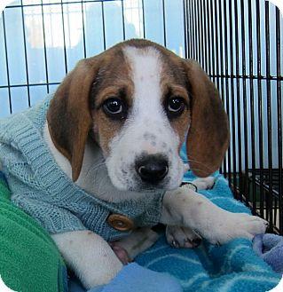 Beagle Mix Puppy for adoption in Richmond, Virginia - Charlie