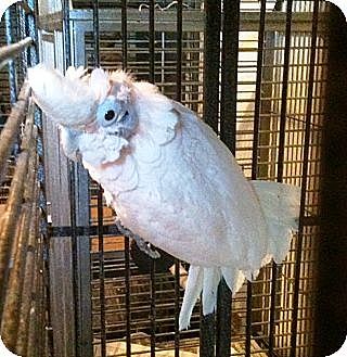 Cockatoo for adoption in Lenexa, Kansas - Tommy