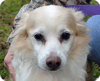 Sheltie, Shetland Sheepdog Mix Dog for adoption in Searcy, Arkansas - Chester