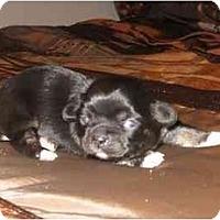 Adopt A Pet :: Noel - Chandler, IN
