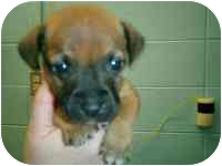 Boxer Mix Puppy for adoption in Wauseon, Ohio - Homer