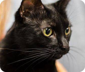 Domestic Shorthair Cat for adoption in Lowell, Massachusetts - Sam