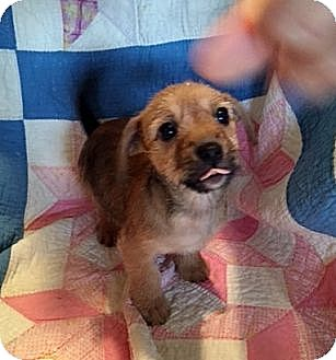 Chihuahua/Pomeranian Mix Puppy for adoption in ST LOUIS, Missouri - Wilma