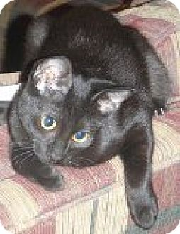 Domestic Shorthair Cat for adoption in Vancouver, Washington - Clover