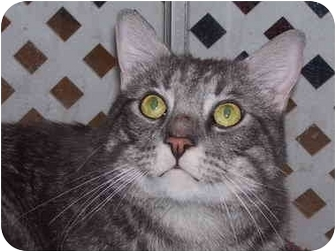 Domestic Shorthair Cat for adoption in Irvine, California - Caruso
