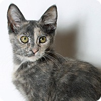 Domestic Shorthair Cat for adoption in Mountain Center, California - Zydeco