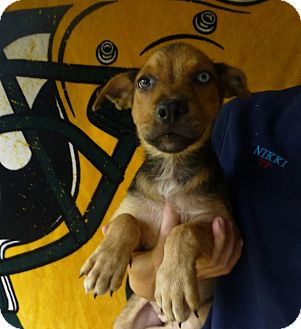 Husky/German Shepherd Dog Mix Puppy for adoption in Oviedo, Florida - Piper