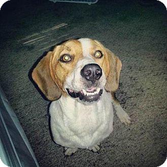 Basset Hound/Beagle Mix Dog for adoption in Point Pleasant, Pennsylvania - BAILEY