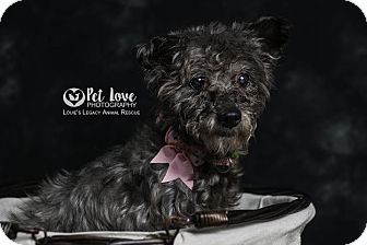 Toy Poodle/Miniature Schnauzer Mix Dog for adoption in Cincinnati, Ohio - Paisley