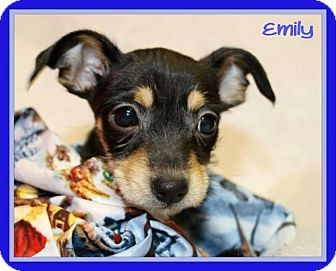 Chihuahua/Terrier (Unknown Type, Small) Mix Puppy for adoption in Tracy, California - Emily