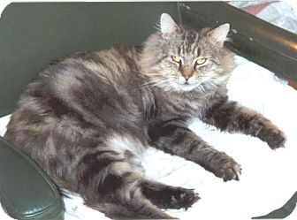 Domestic Mediumhair Cat for adoption in Wakefield, Massachusetts - Lucas
