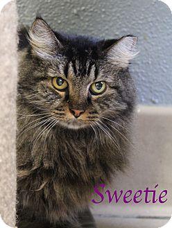 Domestic Mediumhair Cat for adoption in Bradenton, Florida - Sweetie