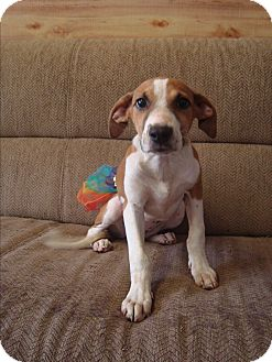 Treeing Walker Coonhound Mix Puppy for adoption in Old Bridge, New Jersey - Eve