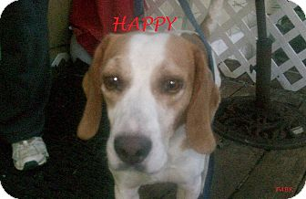 Beagle Dog for adoption in Ventnor City, New Jersey - HAPPY