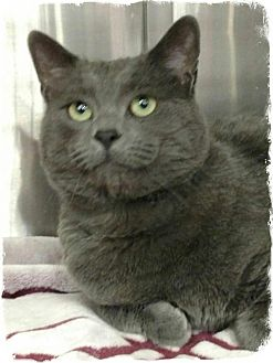 Russian Blue Cat for adoption in Pueblo West, Colorado - Elliot