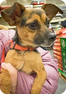 Chihuahua Mix Dog for adoption in Loudonville, New York - Lisa