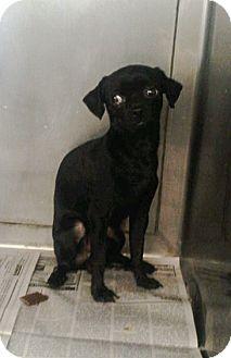 Chihuahua Mix Dog for adoption in Chico, California - JINGO