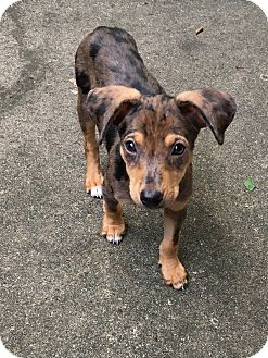 Catahoula Leopard Dog Mix Puppy for adoption in Marlton, New Jersey - Kylie