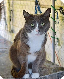 Domestic Shorthair Cat for adoption in Kelso/Longview, Washington - Cosco