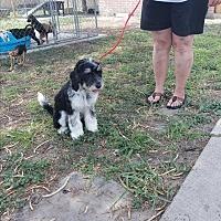 Adopt A Pet :: Cookie - Brownsville, TX