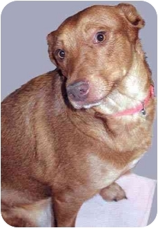 Cattle Dog/Rhodesian Ridgeback Mix Dog for adoption in Grass Valley, California - Sonjia