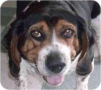 Beagle/Basset Hound Mix Dog for adoption in Ventnor City, New Jersey - LULU