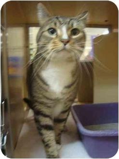 Domestic Shorthair Cat for adoption in Sunderland, Ontario - Enzo
