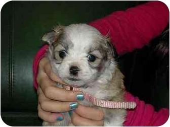 Bichon Frise/Pomeranian Mix Dog for adoption in Kokomo, Indiana - Pinky