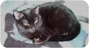 Domestic Mediumhair Cat for adoption in Little Rock, Arkansas - Tommie