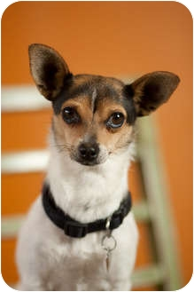 Jack Russell Terrier/Fox Terrier (Smooth) Mix Dog for adoption in Portland, Oregon - Wilma