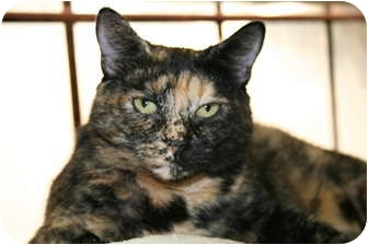Domestic Shorthair Cat for adoption in Naples, Florida - Tootsie
