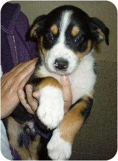 Australian Shepherd/Labrador Retriever Mix Puppy for adoption in Sacramento, California - Dallas and siblings