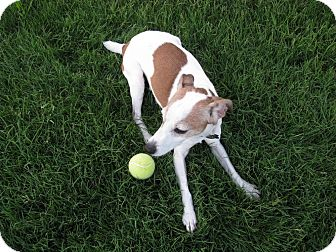 Jack Russell Terrier Dog for adoption in Scottsdale, Arizona - JACQUELYN