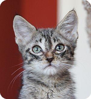 Domestic Shorthair Kitten for adoption in Thousand Oaks, California - Kittens