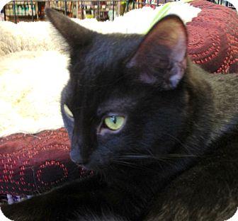 Domestic Shorthair Kitten for adoption in Chandler, Arizona - Milk