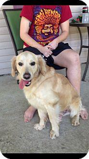 Golden Retriever/Cocker Spaniel Mix Dog for adoption in Hatifeld, Pennsylvania - Trevor