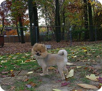 Pomeranian Dog for adoption in Mt Gretna, Pennsylvania - Hershey