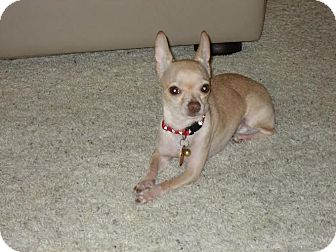 Chihuahua Dog for adoption in Dallas, Texas - Ryder