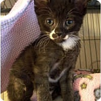 Adopt A Pet :: Scooter Pie - Shelton, WA