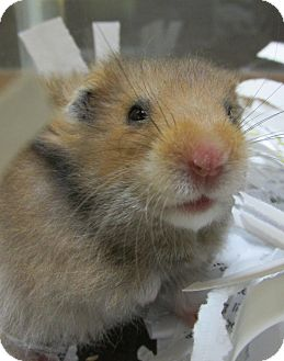 Hamster for adoption in Benbrook, Texas - Relish