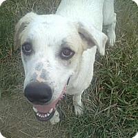 Adopt A Pet :: Tater - Albany, NY